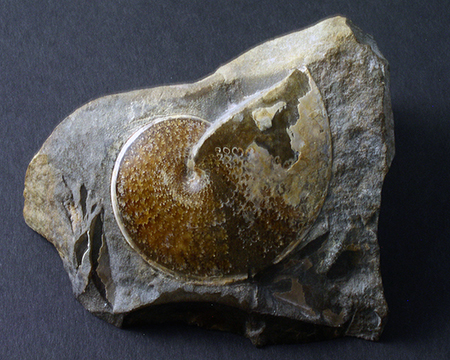 Fossils  - Sphenodiscus sp., Wibeaux, Montana